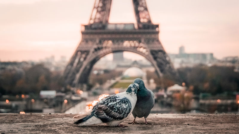Pigeons-romance-Paris-Eiffel-Tower-StockSnap